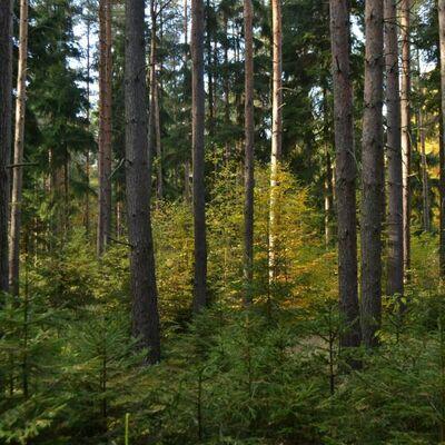 Bild vergrößern: Mischwald als junger Baumbestand